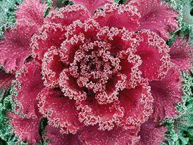 Beautiful Brassica oleracea or wild cabbag