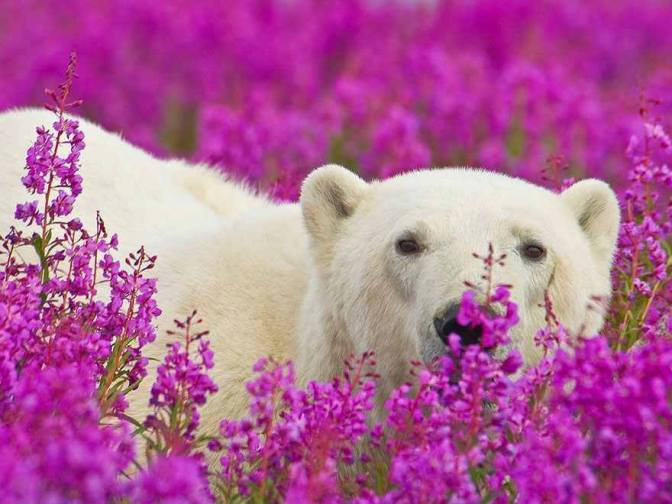 Beautiful photography of Polar Bears playing in Flower fields