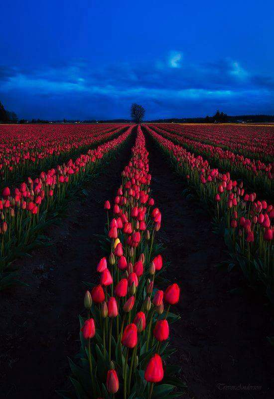 Tulips in the Skagit Valley, state of Washington