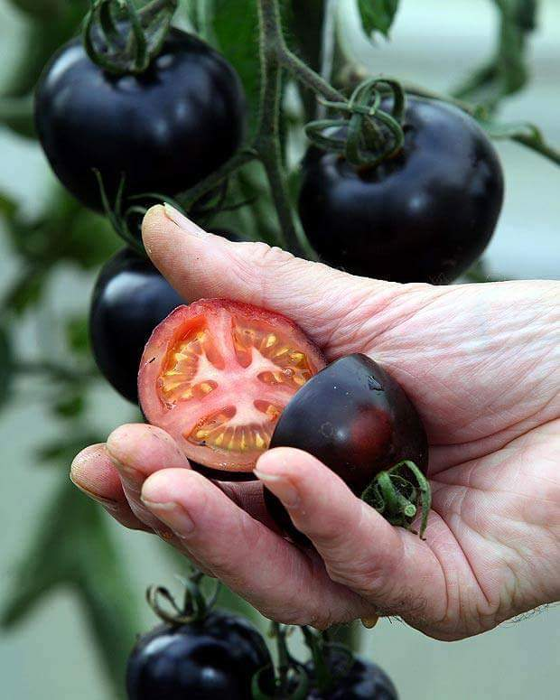 Beauty of Nature – Black Tomatoes